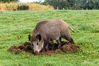 France, Haute Saone, Vesoul, Wild Boar, Sus scrofa, looking for worms