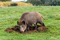 France, Haute Saone, Vesoul, Wild Boar, Sus scrofa, looking for worms