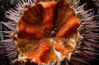 Detail of sea urchins open