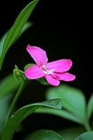 Lemonia, Limonia, Pink Ravenia, Ravenia spectabilis