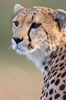 Female cheetah, portrait Masai Mara Wildlife Preserve Kenya
