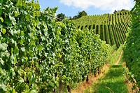 foreshortening of hilly vineyard with multiple lines of plants on the hills surrounding the important industrial town