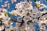 Blossoming Cherry Prunus avium, Ukraine, Eastern Europe