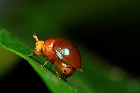 beetle of borneo