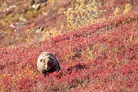 USA, Texas, Brown bear at Denali National Park