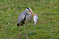 Grey Heron, Ardea cinerea, adult with fish, Germany