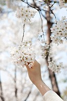 Hand holding Cherry Blossoms