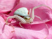 spider, Thomisidae