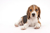 A lying puppy