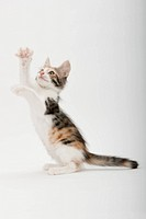 A sitting kitten raising hands
