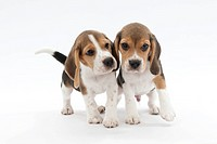 Siblings of Beagle