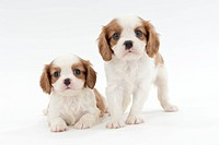 Siblings of Cavalier King Charles Spaniel