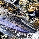 closeup of rainbow trout in motion