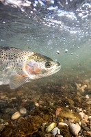 underwater view of rainbow trout swimming in the river