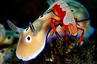 Emperor Shrimp riding on Nudibranch, Periclimenes imperator, Bali, Indonesia