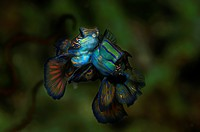 Mating Mandarinfish, Synchiropus splendidus, Lembeh Strait, North Sulawesi, Indonesia