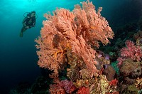 Scuba diving over Coral Reef, Phuket, Thailand