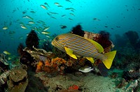 Yellow_ribbon Sweetlips over Reef, Plectorhinchus polytaenia, Cannibal Rock, Rinca, Indonesia