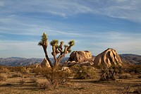 A daytime view of a Joshua Tree and boulders in Joshua Tree National Park
