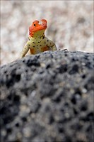 A lava lizard peers over a lava rock.