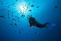 Scuba Diver and Shoal of Redtooth Triggerfish, Odonus niger, St. Johns, Red Sea, Egypt