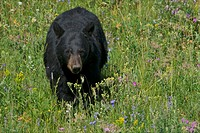 A black bear looks for which wild flowers to eat.