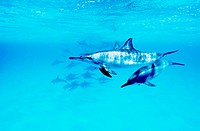 Pair of Spinner Dolphins at Dolphin house reef, near Marsa Alam  Southern Red Sea  Egypt