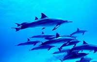 Spinner dolphins Stenella longirostris  Marsa Alam, Red Sea  Egypt