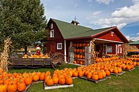 Pumpkins for sale and displayed at the Sturgeon Pumpkin Barn farm near Cross Village, Michigan, USA