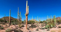 Giant Cacti in Saguaro N P  , Arizona, USA