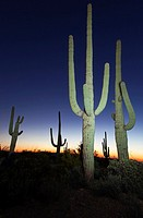 Dusk in Saguaro N P  , Arizona, USA