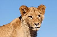 Junger Löwe Panthera leo im Porträt _ Young lion Panthera leo in Portrait