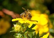 Blüten mit Biene