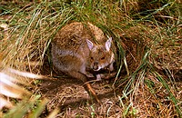 Spectacled hare_wallaby near grass tussock shelter, Tropical grassland, Northern Australia