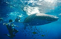 Whale shark Rhincodon typus with diver filming it