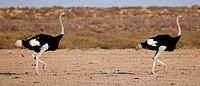 Männliche Strauße, male Ostriches, Struthio camelus, Botswana, Botsuana