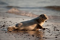 Grey seal laying on beach