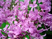 Close up of blooming lilac bush