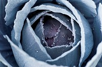 Close up of frosty cabbage plant