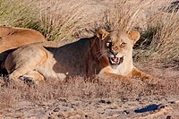 Lioness in filed with grass