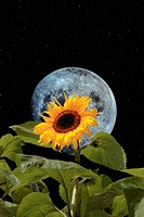 sunflower bee and moon with night sky