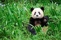 Giant panda, Ailuropoda melanoleuca, Bifengxia Panda Center, Sichuan Province, China