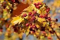 Herbstlaub, Früchte