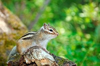 Siberian chipmunk, Common Chipmunk Eutamias sibiricus Lake Baikal, Siberia, Russian Federation