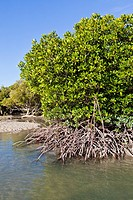 mangroves in the mud flats of Port Smith Lagoon at low tide, Dampierland, north coast, Western Australia