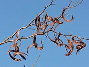 Zweige mit reifen Schoten