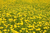 CULTIVATED WILDFLOWER MEADOW WITH CORN MARIGOLD