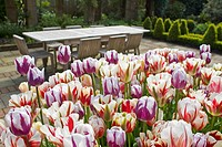 TULIPA - OLD FASHIONED BROKEN TULIPS AND WOODEN GARDEN TABLE & CHAIRS
