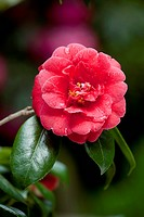 Camellia Flower, in shade, with reflector, photographic technique