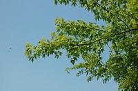 sommergrüner Zweig